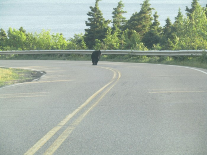 Black-Bear-Crossing-Road