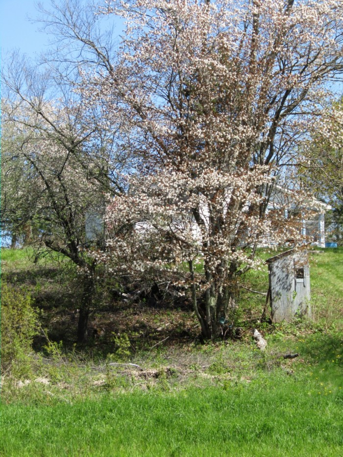Outhouse-and-cherry-blossoms